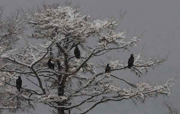 ワシのなる木