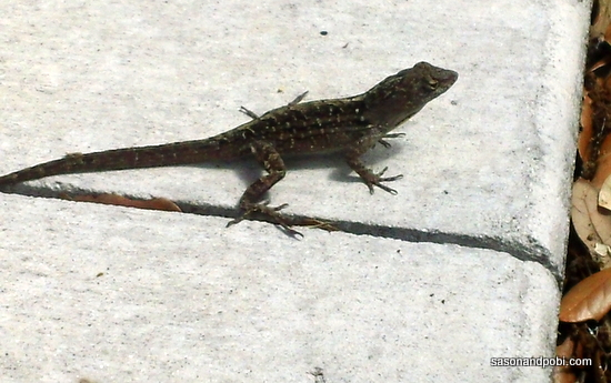 Travel Florida Wildlife Lizard