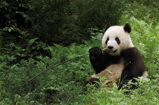 Cute Pandas Wallpapers Giant Pandas Pgcps Mess Reform Sasscer Without Delay