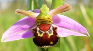 Laughing Bumble Bee Orchid (Ophrys bomybliflora) featured