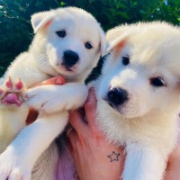 Akita puppy for adoption