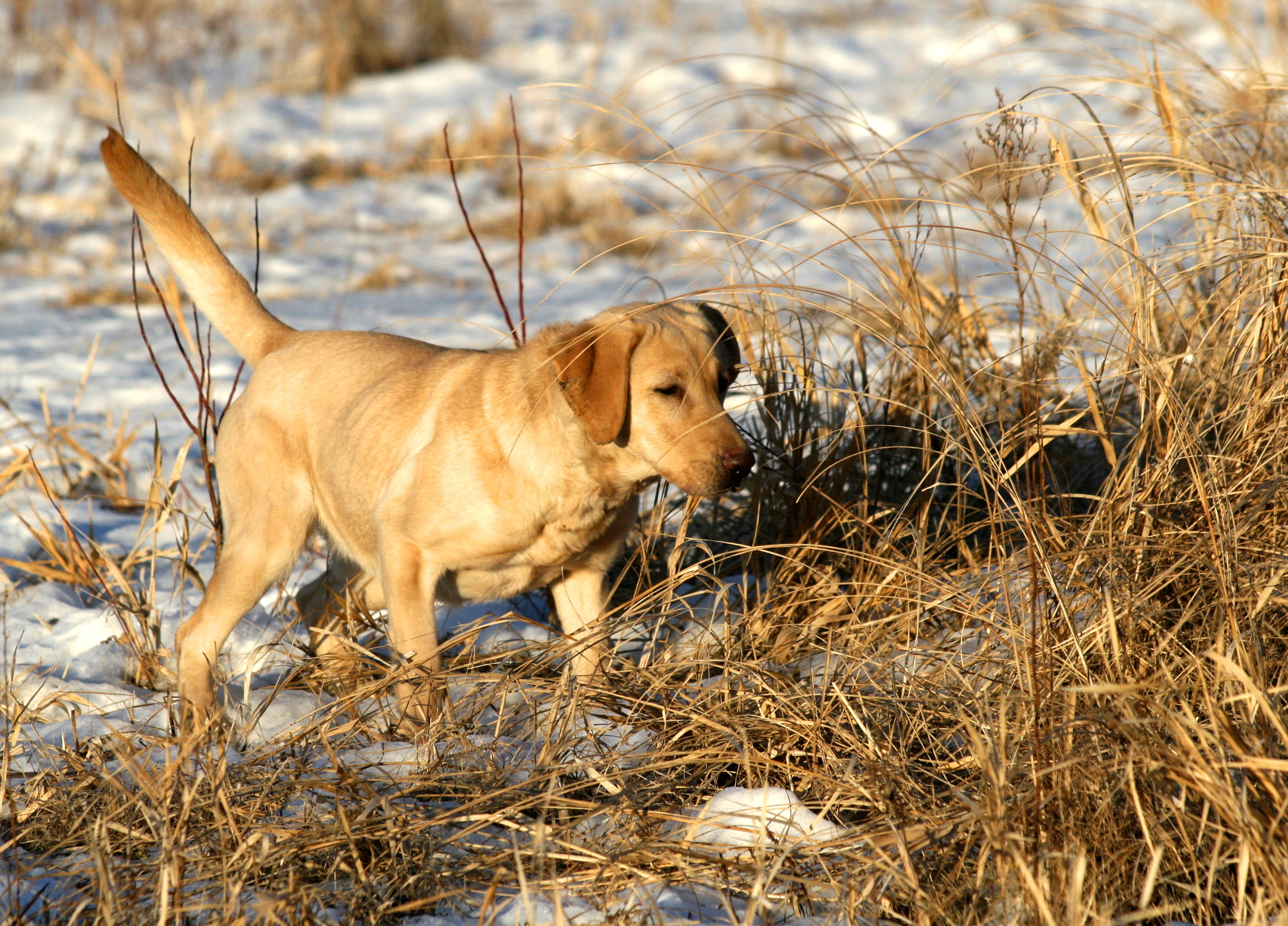 Yellow Lab Dogs For Sale Sauk River Retrievers