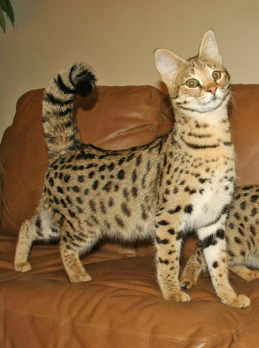 2018 F1 F1 Serval Queen | Savannah Cat Breed