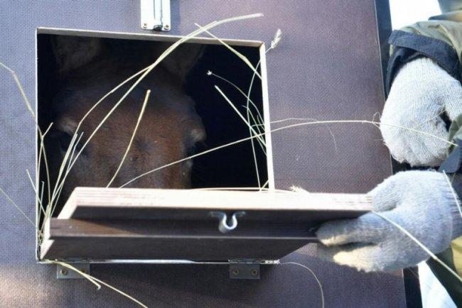 Прибытие второй группы лошадей Пржевальского в Оренбургский заповедник, 20.11.2016. Фото предоставлено Оренбургским заповедником