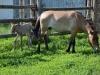 Жеребенок родился у лошадей Пржевальского в Оренбуржье. В Оренбургской Тарпании. Фото предоставлено Институтом Степи УрО РАН