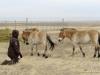Лошади Пржевальского в Оренбургском заповеднике.  Фото Н. Судец