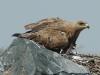Степной орел. Фото И. Карякина