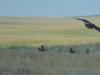 Скопление неразмножающихся степных орлов и орлов, потерявших кладки в подножии уступов Ишкаргантау, Актюбинская область. Фото И. Карякина