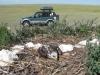 Птенец степного орла недоеденный четвероногим хищником в гнезде. Оренбургская область. Фото И. Карякина