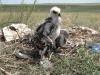 Птенцы степного орла, помеченные кольцами RRRCN. Оренбургская область. Фото И. Карякина