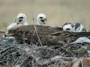 Семья степных орлов на гнезде. 2012. Фото Игоря Карякина