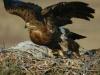 Самка степного орла взлетает с гнезда. 2012. Фото Игоря Карякина