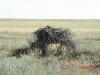 Птенец степного орла на гнезде устроенном на мотке старой проволоки. 19 июня 2010. Республика Калмыкия. Фото Р.А. Меджидова