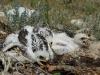 Птенцы степного орла на гнезде. Июнь 2010. Республика Калмыкия. Фото Р.А. Меджидова
