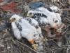 Птенцы степного орла, помеченные кольцами, Актюбинская область, 2015. Фото И. Карякина
