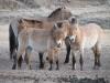 Лошадь Пржевальского, Хустай, Монголия. 22.04.2007. Фото А.Н. Барашковой