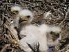 Птенцы степного орла. Фото И.Э. Смелянского