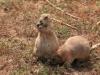 Луговые собачки в резервате «Уичита» подходят вплотную к экскурсантам