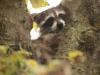 Молодой енот спрятался на дереве, резерват «Сэлт Плэйнс», Оклахома