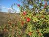 Шиповник красно-бурый, Центрально-Черноземный заповедник. Фото О.В. Рыжкова