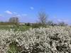 Цветущие заросли тёрна колючего, Центрально-Черноземный заповедник. Фото О.В. Рыжкова