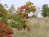 Плоды калины обыкновенной, Центрально-Черноземный заповедник. Фото О.В. Рыжкова