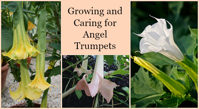 Growing Angel Trumpet From Seed Step-by-step Instructions for Success