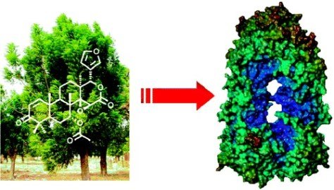 Gedunin has been isolated from the Indian neem tree (Credit: J. Med. Chem.)