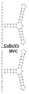 Structure of newly discovered canine bocavirus 3 and MVC (Credit: Virology Journal)