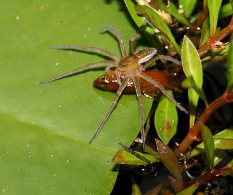 Spider (Credit: Peter Liley, Moffat Beach, Queensland)