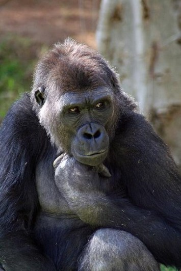 Gorilla (Credit:  Kjunstorm/Flickr )