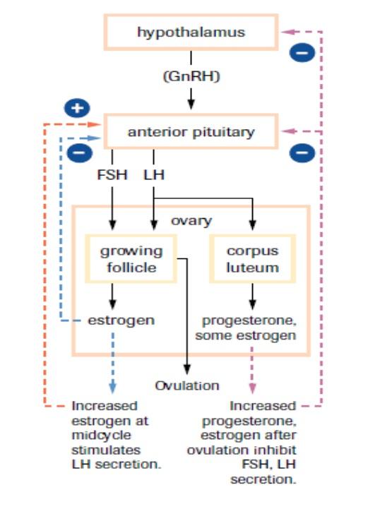 The Menstrual Cycle-Feedback Loop SBI4U 2013 Resource Guide