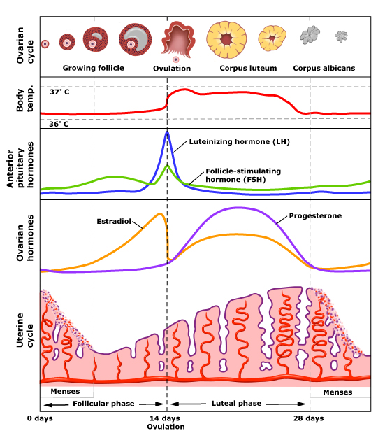 menstrual cycle - Why do FSH and LH hormones drop in diagram when