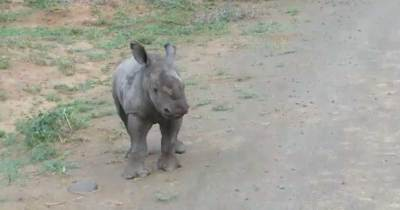 Baby Rhino Picks A Fight With Car, Realizes He Doesn't Stand A Chance In Hysterical Fashion