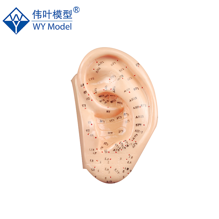 Ear Acupuncture Model, Ear Acupuncture Model Suppliers and