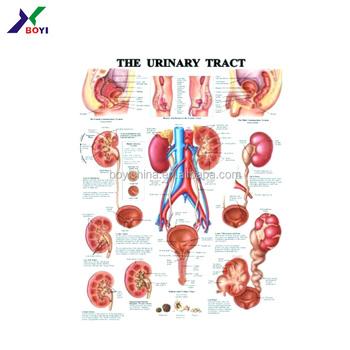 2018 Medical Educational Pvc 3d Poster/blister Anatomy Poster - Buy