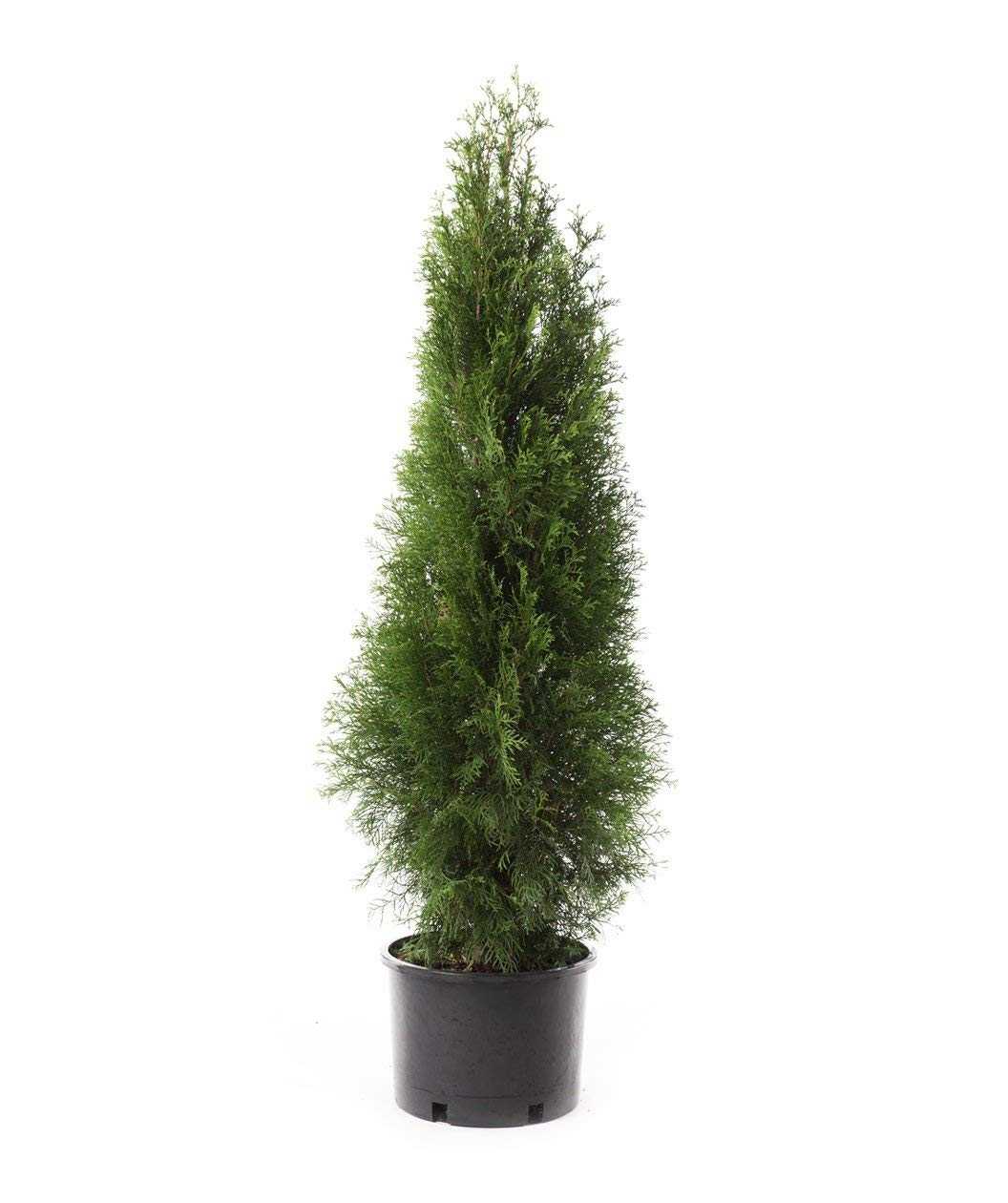 Thuja Yellow Ribbon Height Cheap Emerald Green Arborvitae Price Find Emerald Green