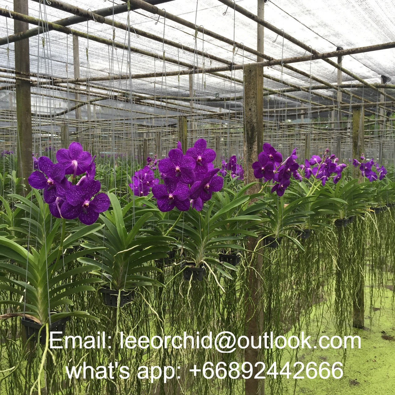 Thai Vanda Orchids Plants Patchara Delight Blue Best Price Try Us Buy Vanda Orchids Vanda Vanda Orchids Plants Product On Alibaba Com