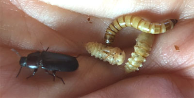 Mealworm larva, pupae and adult