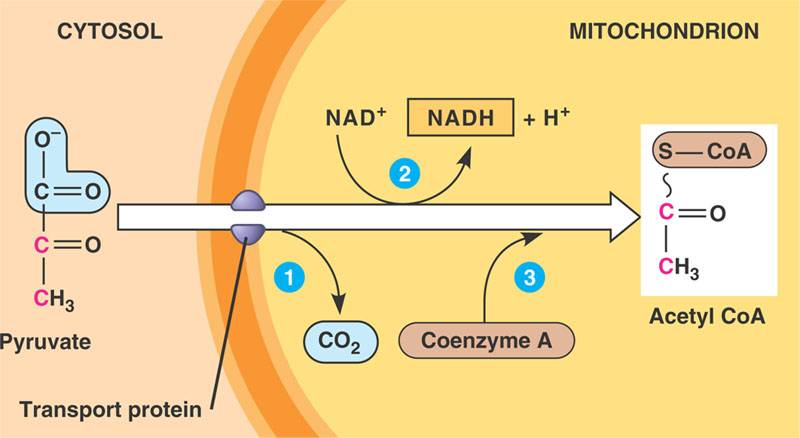 Biology the miracle of life Cellular Respiration Pyruvate oxidation