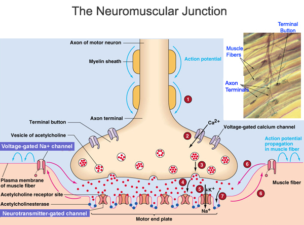 The Neuromuscular Junction - Lessons - Tes Teach - neuromuscular junction