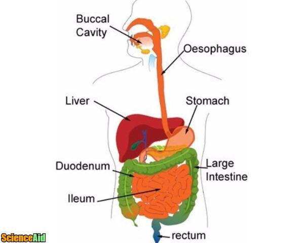 Digestive System, Enzymes, Absorption in the Small Intestine