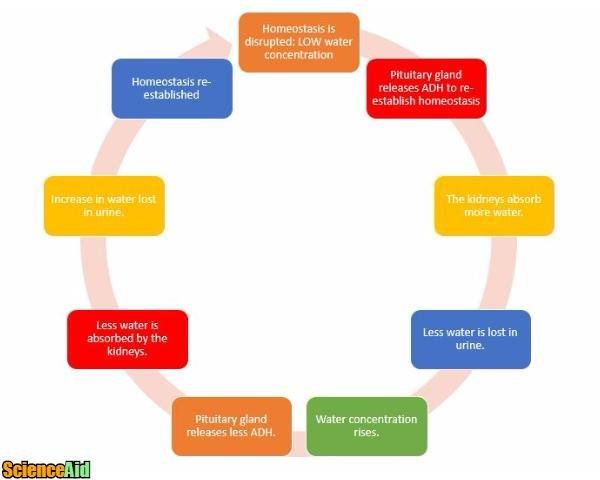 Negative Feedback Schematic Wiring Diagram