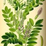 Licorice root ingredients fight cavities, gum disease
