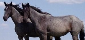 Nokota_Horses_cropped