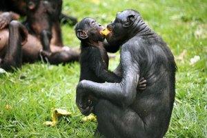bonobo-food-sharing_0