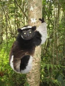 lemur madascar
