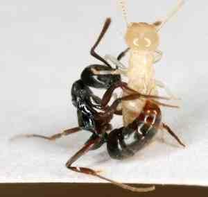 Asian-needle-ant-stinging-termite-Benoit-Guenard-credit