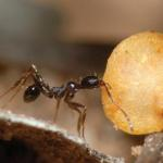 Ant grabs chili seed