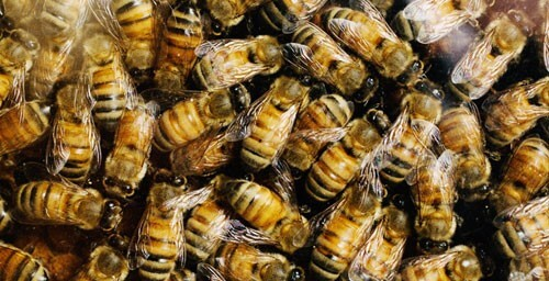Single gene in bees separates queens from workers